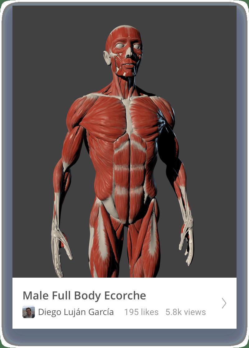 Male body ecorche thumbnail
